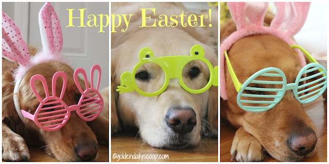 Golden Retriever Dogs Easter 2016