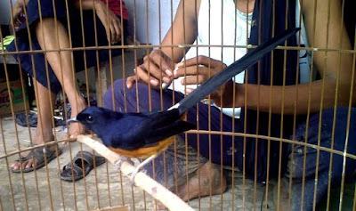 Burung Murai Batu Lahat