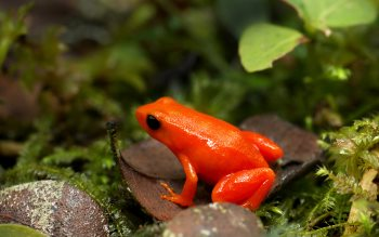 Wallpaper: Golden Mantella