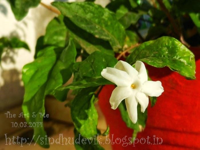 Shankarapura Jasmine or Mangaluru Mallige Flower