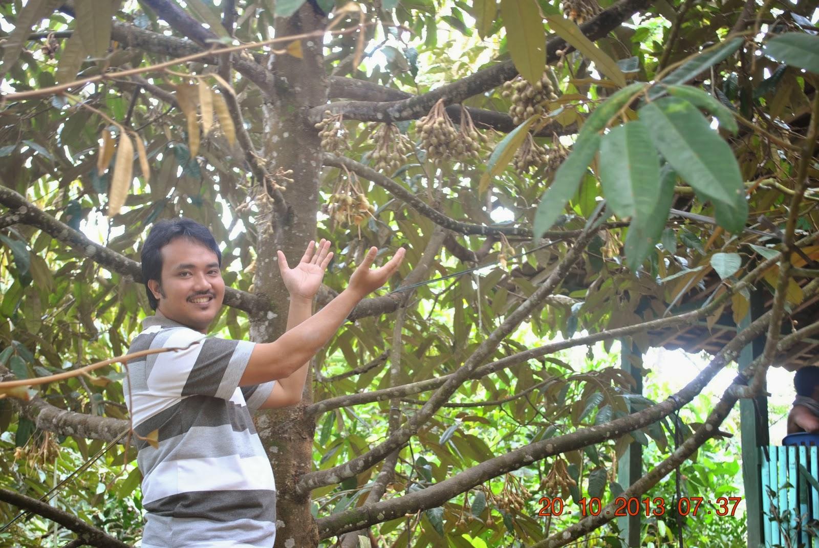 Pohon Durian Menoreh Kuning; Pendek. kokoh, Eksotis, indah, dan produktif