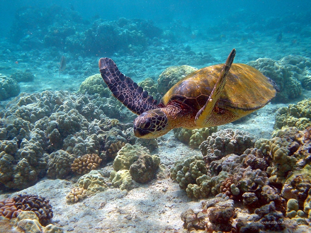 Sea Turtles Wallpaper Turtle Wallpapers Pets Cute And Docile