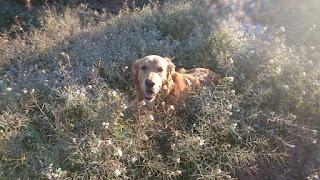Apelsinblomshund trivs utmärkt när temperaturen är låg