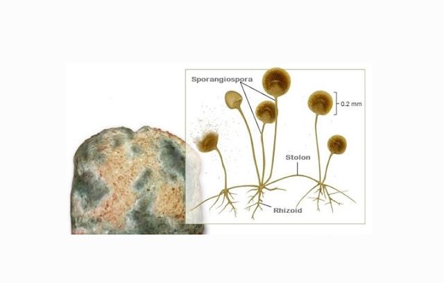 Pengertian, Struktur, Fungsi dan Reproduksi Zygomycota