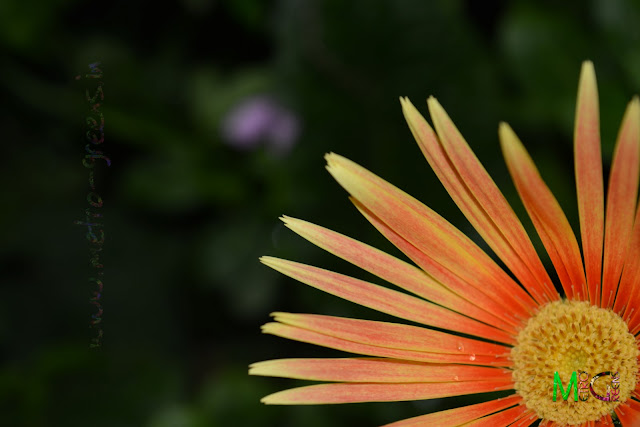 Metro Greens: Orange Gerbera