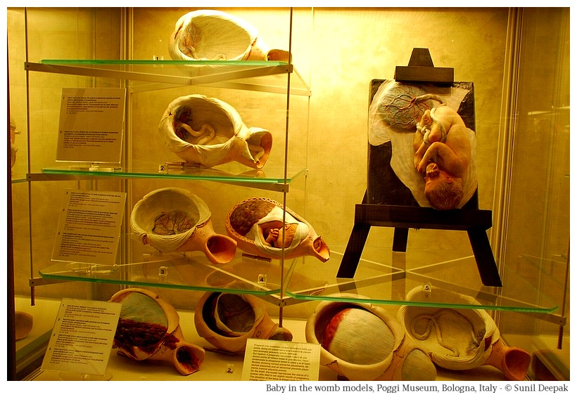Child in the womb models at Palazzo Poggi of Bologna, Italy - Image by Sunil Deepak