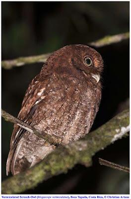 Christian Artuso: Birds, Wildlife: Owls of Costa Rica - photo#11