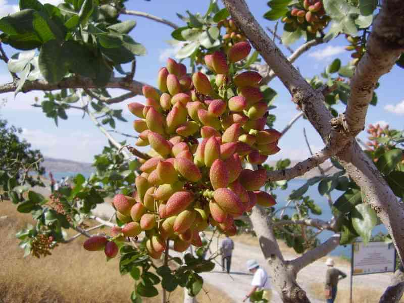 Do You Know Where Food Comes From These 12 Pictures Will Show You - Pistachios