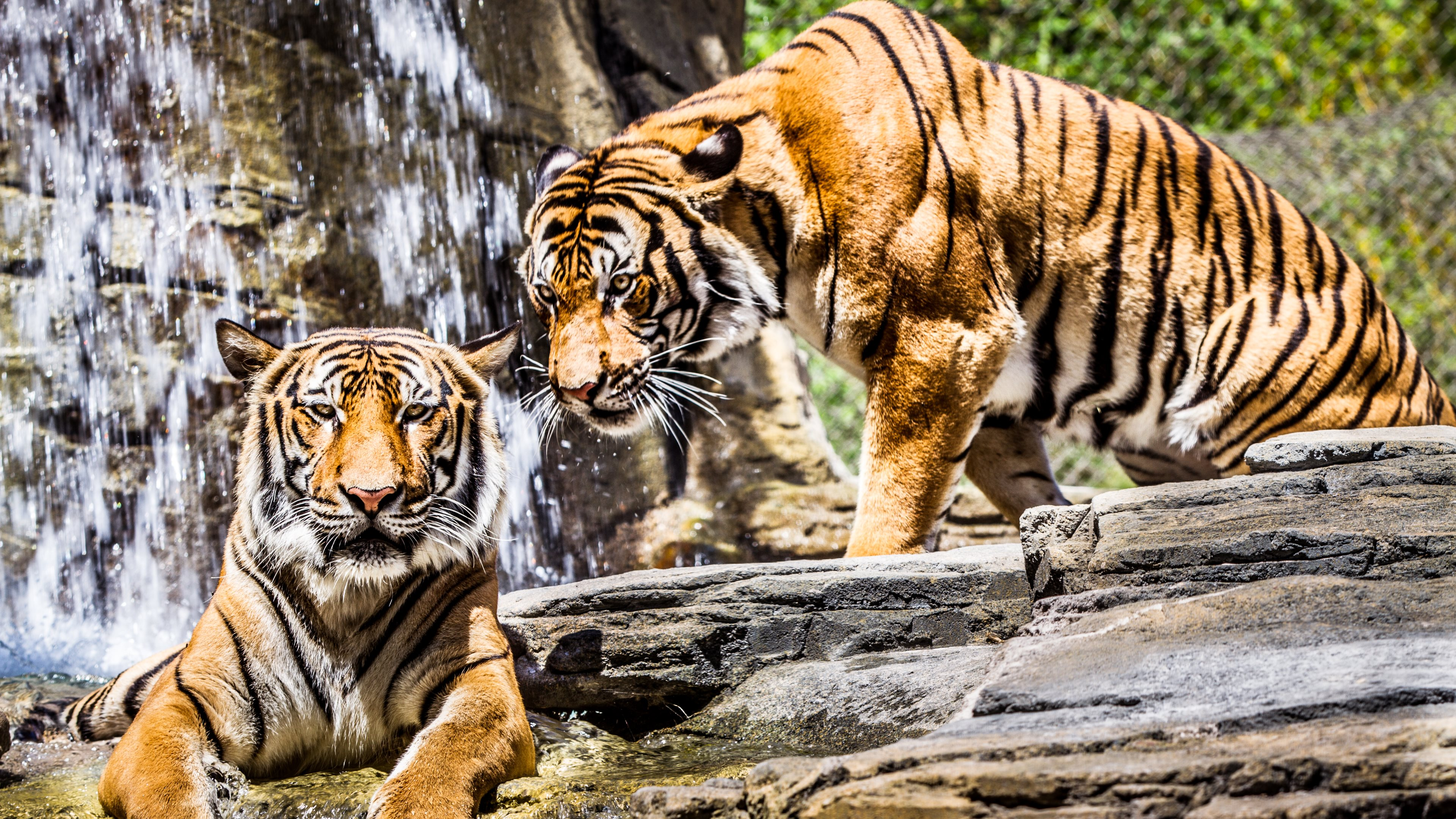 ultra high definition wallpapers tigers - photo #14