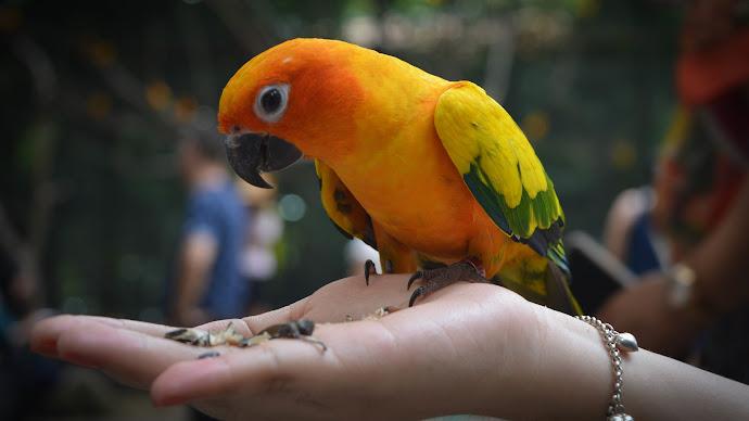 Wallpaper: Yellow-Orange Parrot