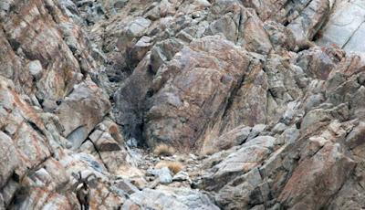 Ada Macan Tutul Salju di Foto Ini, Bisakah Anda Menemukannya?