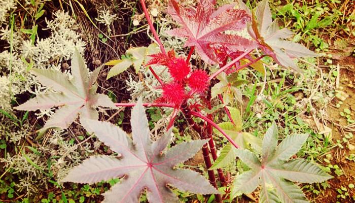 Jardin plantas venenosas