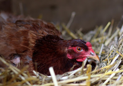 Broody hens have attitude