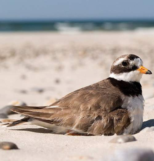 Birds of India - Photo of Common ringed plover - Charadrius hiaticula