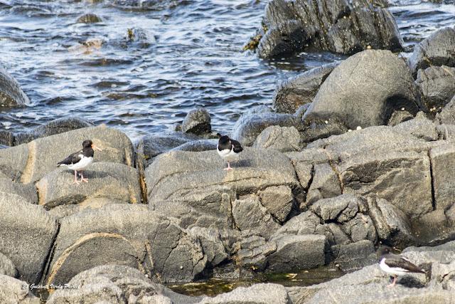 Ostreros Euroasiáticos, Isla de Runde, Noruega por El Guisante Verde Project