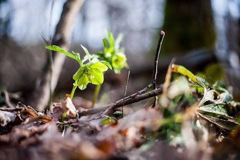 Folytatódik a veszélyeztetett növényfajok fennmaradását biztosító program a Pilisi Parkerdőben
