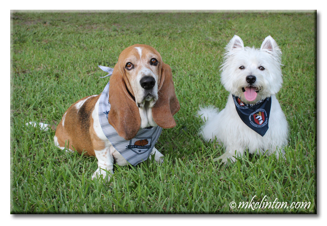 Basset and Westie wearing PetSmart The Secret Life of Pets bandana