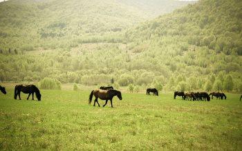 Wallpaper: Wild Horses Herd