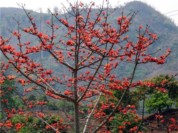 Bông Gạo - Gossampinus malabarica - Nguyên liệu làm thuốc Đắp vết thương Rắn Rết cắn