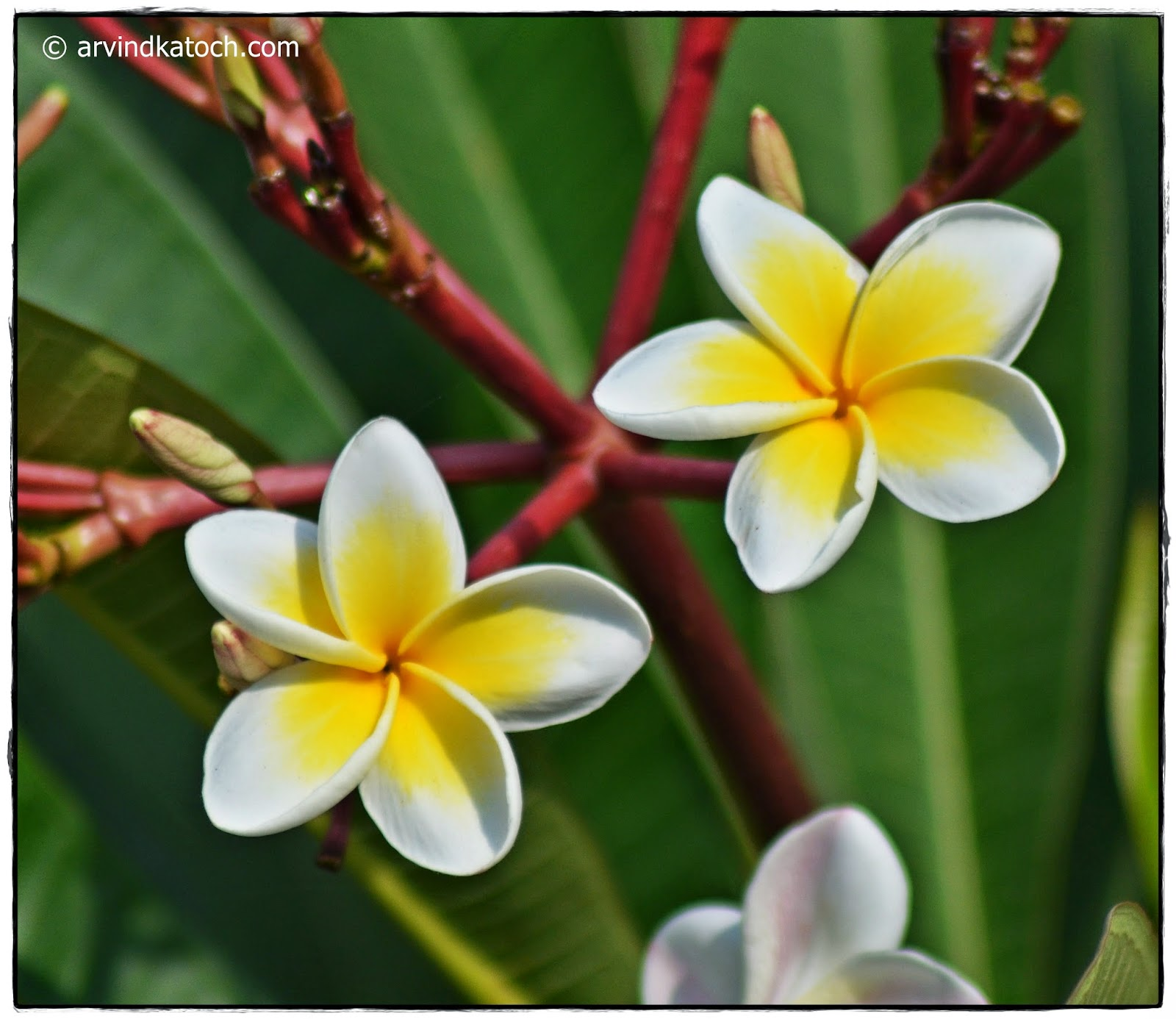 Plumeria, White Flower, Yellow center, Garden Flower