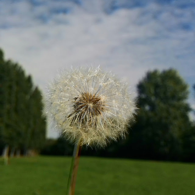 A Close Up of a Dandelion - Make a Wish!