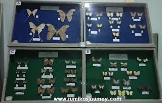 kupu kupu di museum zoologi bogor