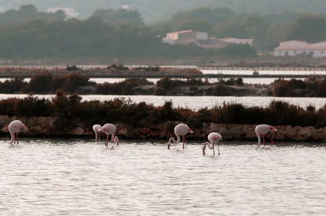 Flamingos da reserva de Ses Salines