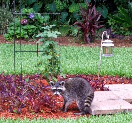 rocky the raccoon approves the patio stone pavers project