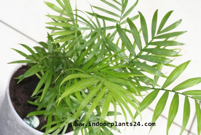 Chamaedorea Elegans Palmae plant