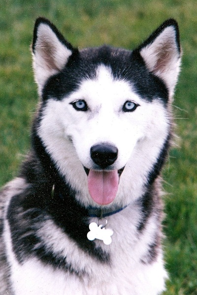 Cute Dogs|Pets: Siberian Huskies With Blue Eyes