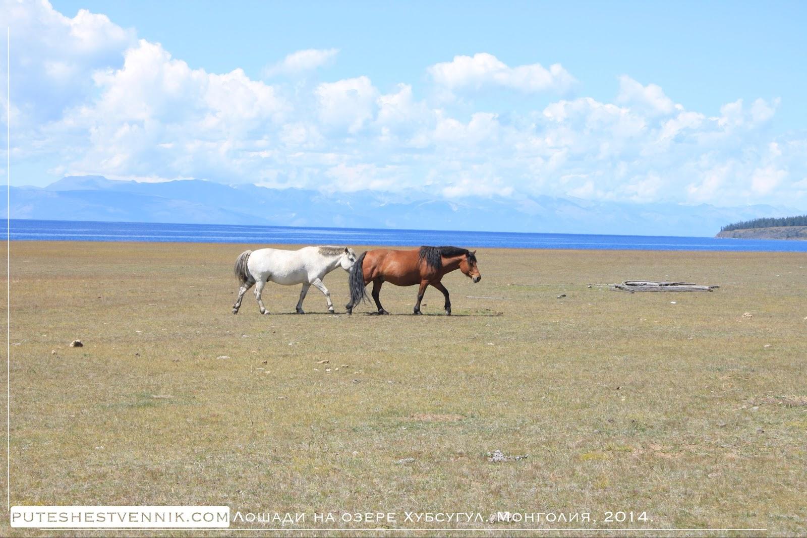 Две лошади у озера Хубсугул