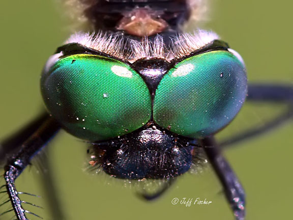 Brush-tipped Emerald Face