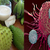 Most Effective Soursop a Can cer Killer 10,000 times Stronger Than Chemotherapy