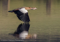 Egyptian Goose in flight Woodbridge Island Vernon Chalmers Canon EOS 7D Mark II
