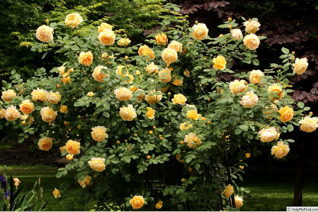 Golden Celebration rose