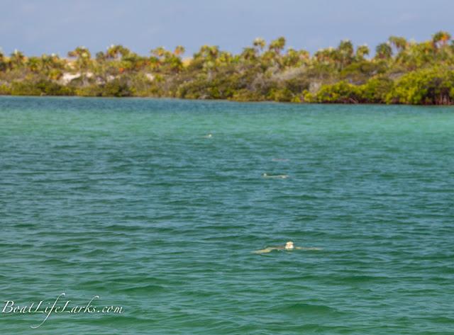 Turtles, Mangrove creek, Conception Island, Bahamas