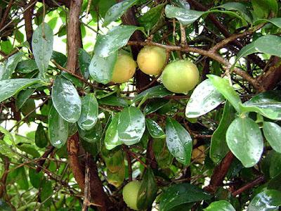 Kei Apples on Tree