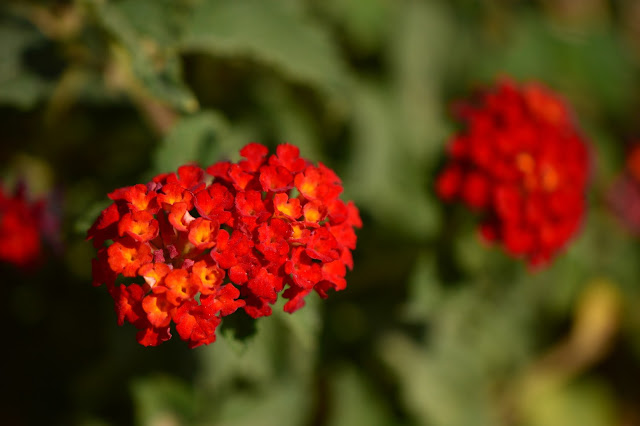 lantana, denver red, small sunny garden, garden bloggers bloom day, amy myers, desert garden