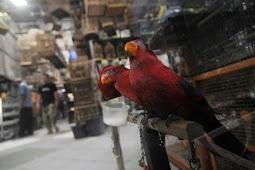 Daftar Harga Burung di Pasar Pramuka Terbaru 2018