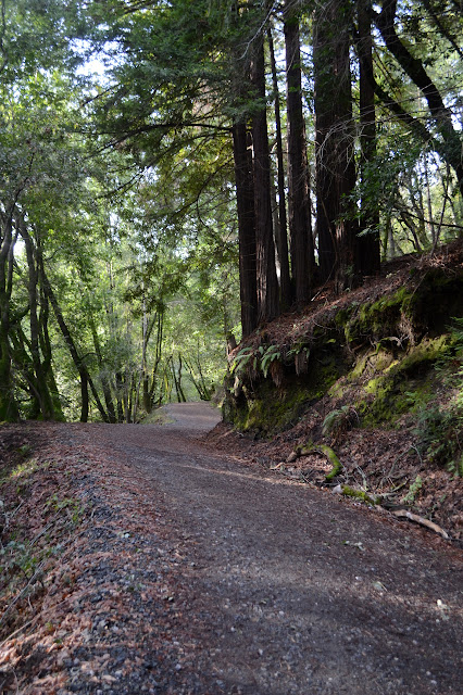 the gravel road under some young redwoods