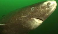 Greenland shark Arewa24