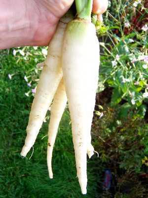 แครอทสีขาว