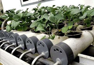 Ini dia kelebihan dan kekurangan tanaman dengan metode hidroponik