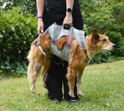 belaying absailing harness for dogs
