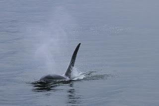 Infanticídio em uma população de Baleia Orca assassina