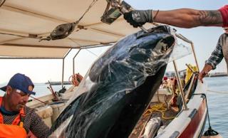 Νάξος: Η ψαριά ζύγιζε πάνω από 300 κιλά – Χρειάστηκε γερανός για να τα βγάλουν από το αλιευτικό - ΕΙΚΟΝΕΣ
