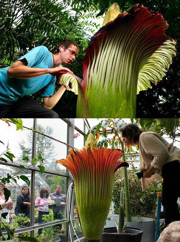 The Corpse Flower (Amorphophallus Titanum) - 28 Awe Inspiring Photos That Prove Just How Cool Mother Nature Is