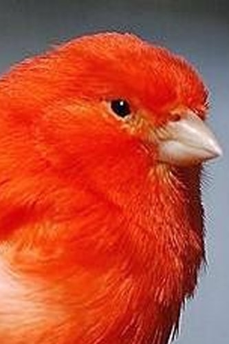 Red Factor Canary Pet Birds - Little Beauty On The Planet - Red Canaries