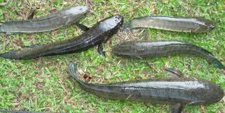 Cara memancing Ikan gabus dikolamsungai dan kanal  Umpan