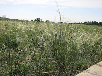 needle-and-threat grass